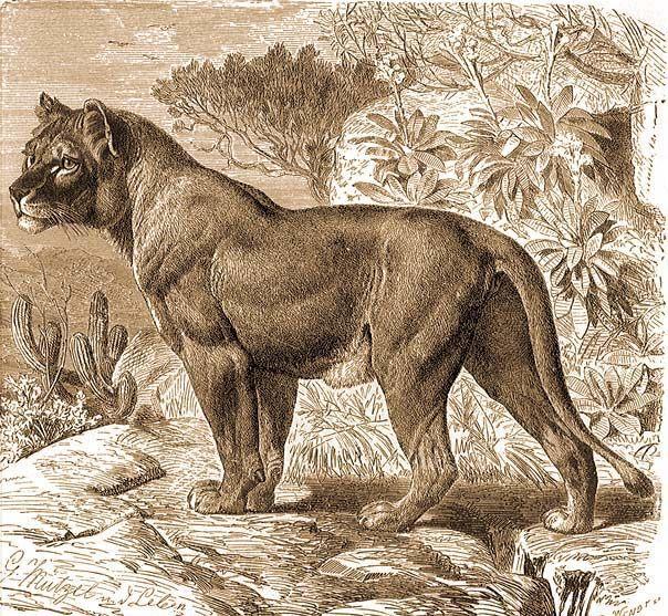 pénisz hossza oroszlánban erekciós eszköz férfiak számára
