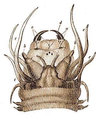 MÁSODIK REND: Soksörtéjűek (Polychaeta) | Brehm: Állatok világa | Kézikönyvtár