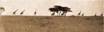 Zsiráfok a steppén.