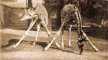 Füvet legelő zsiráf.