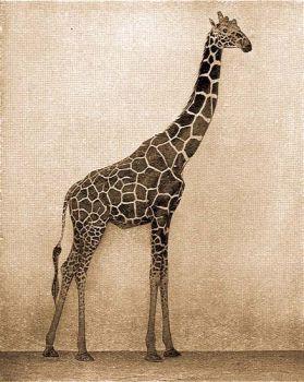 Recés zsiráf (Giraffa reticulata Winton).