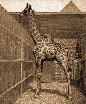 Délafrikai zsiráf (Giraffa camelopardalis capensis E. Geoffr.).