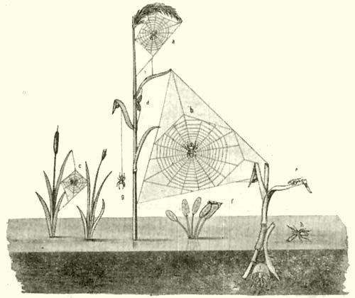 Herman Ottó rajza. a  fiatal nádipók (Epeira cornuta Cl.) és hálója  b   fejlett nádipók és hálója  c  egy kerekhálós  d b83e6d098a