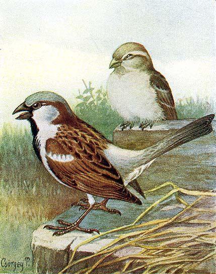 A házi rozsdafarkú (Phoenicurus ochruros gibraltariensis Gm.).